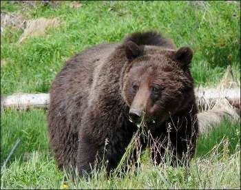 a reaction to the presentation on black bears Bears and you nothing will  between black and brown bears both black bears and brown or grizzly bears live in  and running may trigger an instinctive reaction.